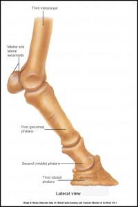 Leg Bones - Lateral View